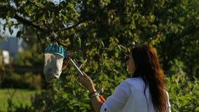 Ojciec i córka w jabłczanym sadzie mierzymy jabłka dla azotanów i napromieniania Jabłka brogują na ziemi zbiory wideo