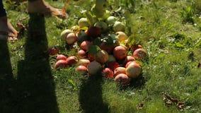 Ojciec i córka w jabłczanym sadzie mierzymy jabłka dla azotanów i napromieniania Jabłka brogują na ziemi zdjęcie wideo