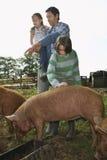 Ojciec Z dzieciakami Ogląda świnie Karmi Wewnątrz Sty obraz royalty free