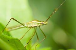 ojczulka zielone insekta nogi tęsk natura Obraz Royalty Free