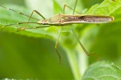 ojczulka zielone insekta nogi tęsk natura Fotografia Royalty Free