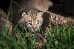 Ojeadas del rufus de Bobcat Kitten Lynx hacia fuera entre los troncos de la hierba Fotografía de archivo