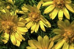 Ojo amarillo del faisán s (vernalis de Adonis) Foto de archivo libre de regalías