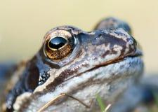Ojo animal de la rana macra Imagen de archivo