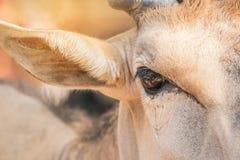 Ojo ascendente cercano del oryx común masculino del Taurotragus del antílope imagen de archivo