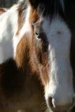 Ojo azul del caballo Fotografía de archivo
