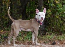 Ojo azul del dogo, oídos rosados grandes, retrato de la adopción del perro Foto de archivo libre de regalías