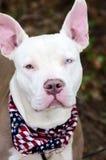 Ojo azul del dogo, oídos rosados grandes, retrato de la adopción del perro Fotos de archivo