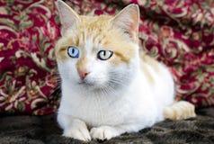 Ojo azul del gato anaranjado y blanco y ojo verde Imagenes de archivo