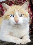 Ojo azul del gato anaranjado y blanco y ojo verde Imagen de archivo