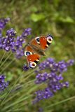 Ojo brillante del pavo real de la mariposa del verano en las flores púrpuras delicadas de la lavanda imagenes de archivo