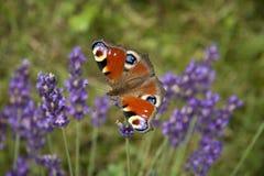 Ojo brillante del pavo real de la mariposa del verano en las flores púrpuras delicadas de la lavanda fotografía de archivo libre de regalías