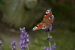 Ojo brillante del pavo real de la mariposa del verano en las flores púrpuras delicadas de la lavanda imagen de archivo