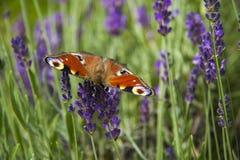 Ojo brillante del pavo real de la mariposa del verano en las flores púrpuras delicadas de la lavanda fotografía de archivo