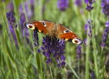 Ojo brillante del pavo real de la mariposa del verano en las flores púrpuras delicadas de la lavanda fotos de archivo