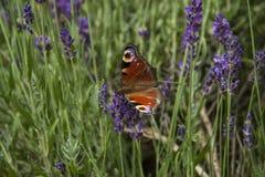 Ojo brillante del pavo real de la mariposa del verano en las flores púrpuras delicadas de la lavanda imágenes de archivo libres de regalías