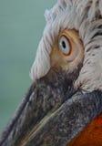 Ojo cercano para arriba de pelícano dálmata Fotografía de archivo libre de regalías
