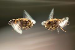 Ojo de dos Hoverflies a observar en Andalucía, España Fotos de archivo libres de regalías