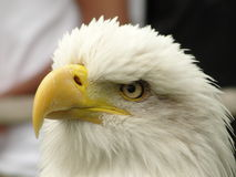 Ojo de Eagles Foto de archivo libre de regalías
