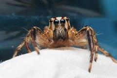 Ojo de la araña Imagen de archivo libre de regalías
