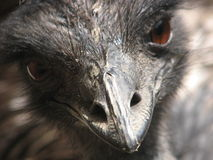 Ojo de la avestruz Fotografía de archivo libre de regalías