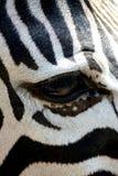 Ojo de la cebra Foto de archivo