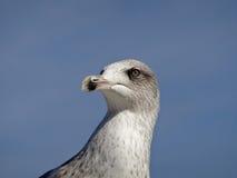 Ojo de la gaviota Foto de archivo libre de regalías