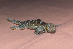 Ojo de la salamandra Fotografía de archivo libre de regalías