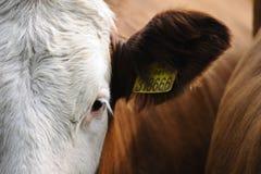 Ojo de la vaca fotografía de archivo libre de regalías