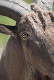 Ojo de las RAM Fotografía de archivo