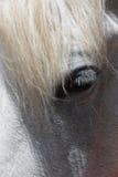 Ojo de los caballos foto de archivo libre de regalías