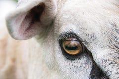 Ojo de los espolones Foto de archivo