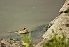 Ojo de Mudskipper Fotos de archivo