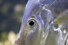 Ojo de pescados Foto de archivo libre de regalías