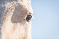 Ojo del caballo Imagen de archivo