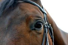 Ojo del caballo de bahía Fotos de archivo libres de regalías