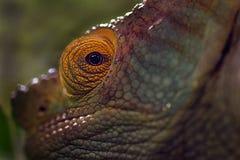 Ojo del camaleón - ascendente cercano fotos de archivo