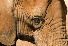 Ojo del elefante imagenes de archivo