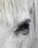 Ojo del Equus Imagenes de archivo