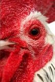 Ojo del gallo Fotografía de archivo