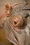 Ojo del Hippopotamus Imagen de archivo