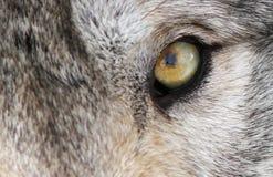 Ojo del lobo Foto de archivo libre de regalías