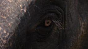 Ojo del maximus del elephas del elefante asiático Ciérrese encima de la visión almacen de metraje de vídeo