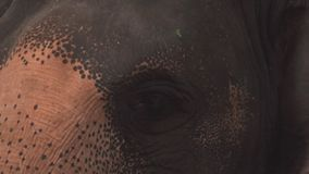 Ojo del maximus del elephas del elefante asiático Ciérrese encima de la visión almacen de video