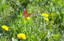 Ojo del pavo real de la mariposa Foto de archivo libre de regalías
