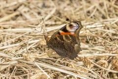 Ojo del pavo real de la mariposa Imagen de archivo