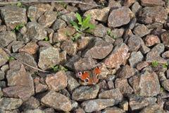 Ojo del pavo real de la mariposa fotografía de archivo libre de regalías