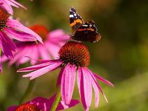 Ojo del pavo real de la mariposa Fotografía de archivo