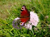 Ojo del pavo real de la mariposa en la flor en primavera Fotos de archivo