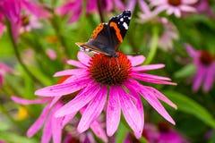 Ojo del pavo real de la mariposa que se sienta en la flor del Echinacea Fotos de archivo